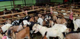 Dari 24 SKPD Baru 8 Yang Telah Resmi Menyumbagkan Hewan Ternak Kurban
